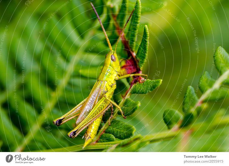 Grasshooper auf Farnblatt Leben Freiheit Garten Natur Pflanze Tier Park Antenne springen frisch klein lang natürlich grün Selbstständigkeit Heuschrecke Insekt