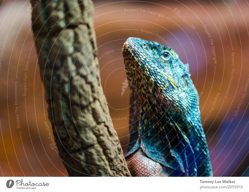 Frilled Agama-Porträt exotisch Haut Umwelt Natur Tier sitzen lang wild braun weiß Angst mit Rüschen besetzt Lizard Drache Rüschenhals Australier Totholz