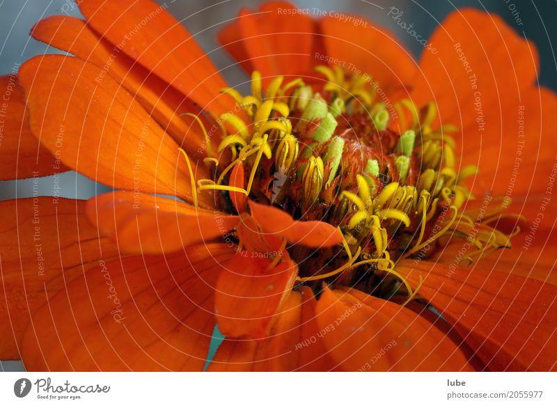 Macroblume Kunstwerk Umwelt Natur Pflanze Blume Grünpflanze Topfpflanze Blumenstrauß Blühend orange Makroaufnahme Blüte Farbfoto Außenaufnahme