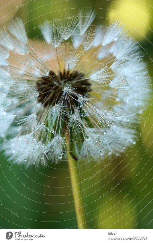 Pusteblume Natur Pflanze Blume Umwelt Blühend Blumenstrauß Löwenzahn Tau Kunstwerk Grünpflanze Wildpflanze