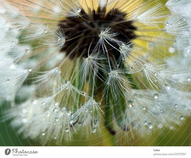 Pusteblume 2 Umwelt Natur Pflanze Wassertropfen Blume Gras Sträucher Grünpflanze Wildpflanze Garten Wiese Blühend Löwenzahn Makroaufnahme Detailaufnahme