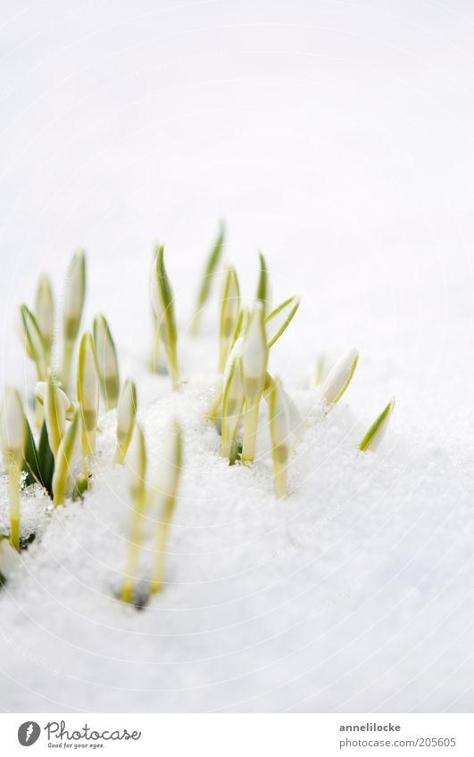 kleine Abkühlung Natur weiß Blume grün Pflanze Winter kalt Schnee Blüte Frühling Eis Umwelt frisch Wachstum Frost