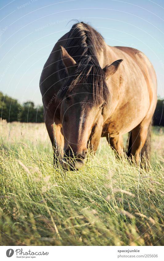 Wendy schön Himmel blau Tier Wiese Gras Zufriedenheit braun glänzend Ausflug Pferd stehen Neugier niedlich Weide Fressen