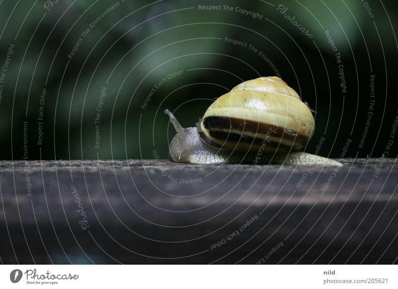 wohin so eilig? Natur grün Tier gelb Bewegung Umwelt Schnecke Fühler langsam Schneckenhaus