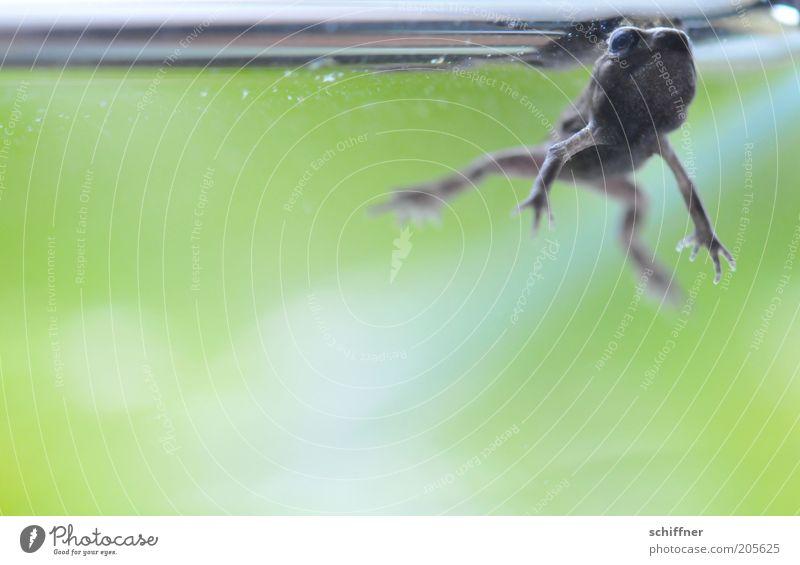 Willste wat? Wasser grün Tier Beine tauchen Frosch Aquarium Unterwasseraufnahme hässlich Maul Entwicklung Aktion Tierjunges Kaulquappe