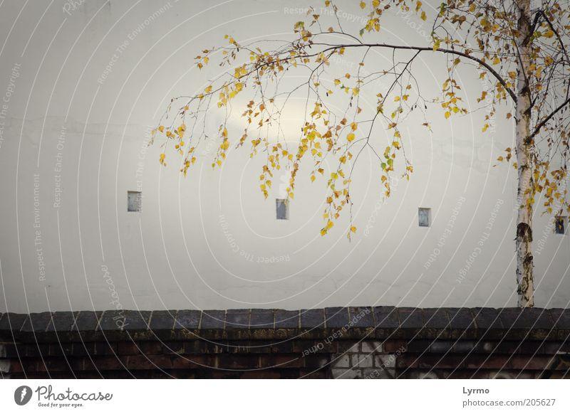 einfach nur Birke Umwelt Natur Sonnenlicht Herbst Pflanze Baum Altstadt Menschenleer Architektur Mauer Wand Fassade Stein Beton Wachstum ästhetisch fest frei
