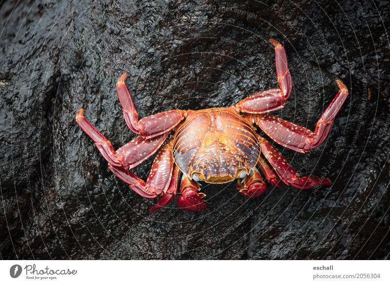 Krabbeln (Galapagos) Reisefotografie Natur Tier Wasser Felsen Stein Wildtier Krebstier Crab Krustentier Meeresfrüchte Meerestier Beine krabbeln ästhetisch
