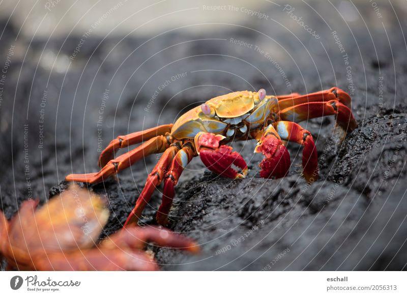 Krabbeln II (Galapagos) Reisefotografie Natur Tier Wasser Felsen Küste Strand Meer Ozean Wildtier Krebstier Krustentier Crab Meeresfrüchte krabbeln ästhetisch