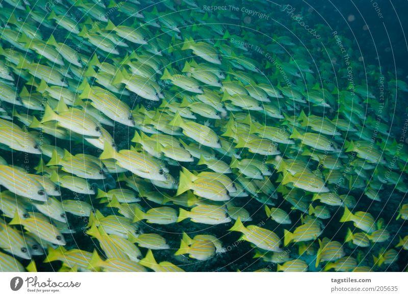 GROUPIES Fisch Fischschwarm Schwarm gelb formatfüllend tauchen unten Wasser Malediven Kuba Karibisches Meer Kleine Antillen Yucatan Ferien & Urlaub & Reisen