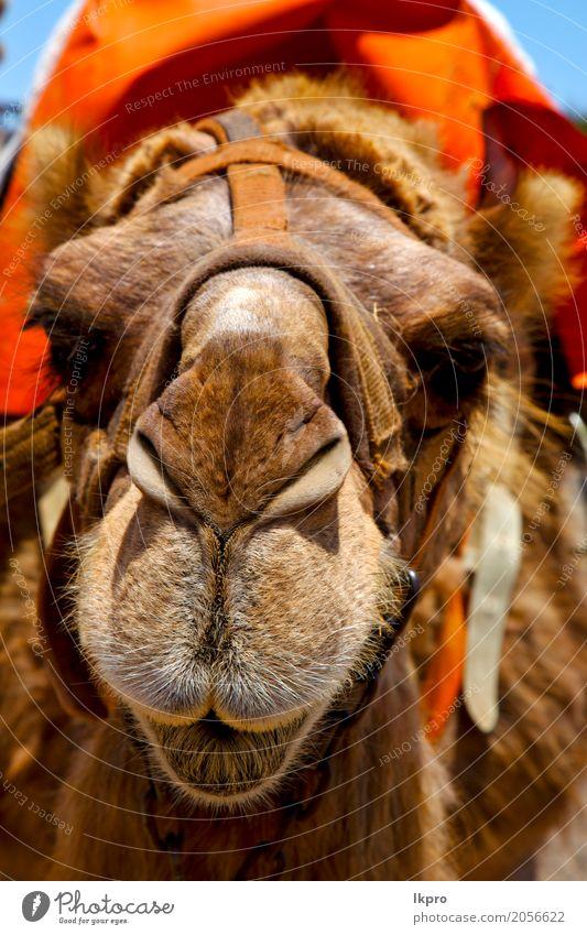 Dromedarbiss im vulkanischen Lanzarote Ferien & Urlaub & Reisen Tourismus Ausflug Sommer Arbeit & Erwerbstätigkeit Seil Natur Tier Leder Ring Metall knien