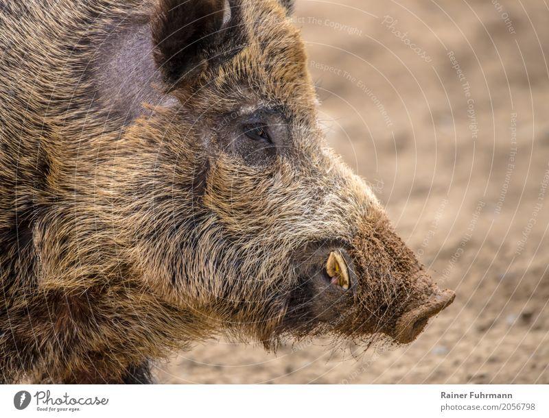 """Porträt von einem Wildschwein Natur Tier Feld Wildtier 1 """"Jagd jagen Keiler schiessen Abschuss Fleisch Wildfleisch"""" Farbfoto Nahaufnahme Textfreiraum rechts"""
