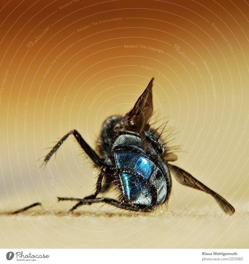 Es war einmal eine Fliege schwarzhaarig Tier Flügel 1 liegen Ekel blau gelb Tod Farbfoto Gedeckte Farben mehrfarbig Innenaufnahme Nahaufnahme Detailaufnahme