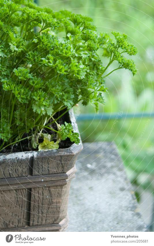 Petersilie Lebensmittel Kräuter & Gewürze Ernährung Bioprodukte Vegetarische Ernährung Umwelt Natur Erde Frühling Sommer Nutzpflanze Garten frisch lecker