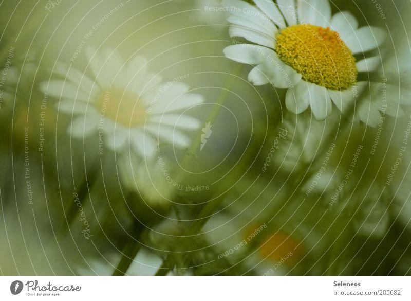 Margeriten Natur schön weiß Blume grün Pflanze Sommer gelb Blüte Gras Frühling Umwelt ästhetisch Blühend Duft