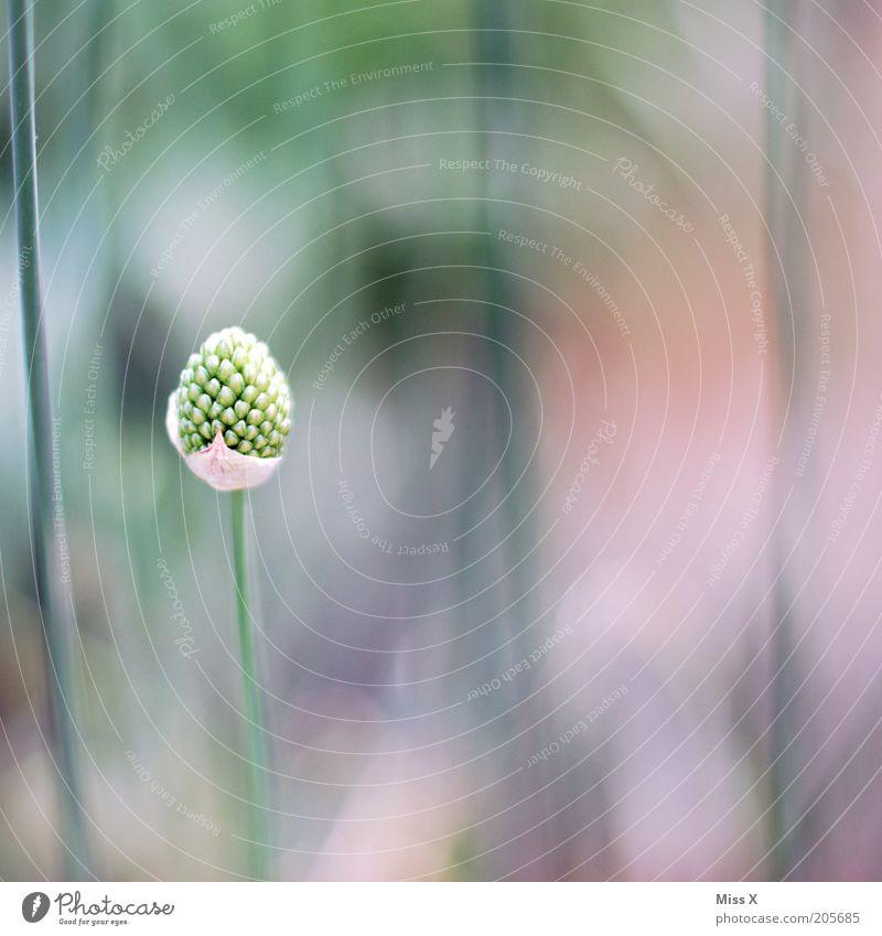 solo Natur Pflanze Blume Gras Blüte Einsamkeit einzeln Blütenknospen Stengel Farbfoto Gedeckte Farben Nahaufnahme Menschenleer Textfreiraum rechts