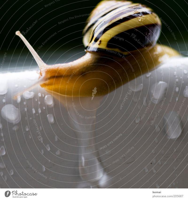 Die letzte Schnecke Wasser weiß schwarz Tier gelb Regen Wassertropfen nass Tisch Ecke Tropfen Am Rand Fühler krabbeln langsam