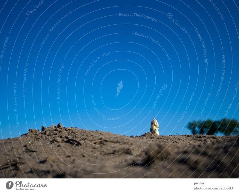 spitze. Lebensmittel Gemüse Landschaft Erde Sand Himmel Pflanze blau Wachstum Spargel Spargelspitze edelgemüse Saisonprodukt Außenaufnahme Textfreiraum oben