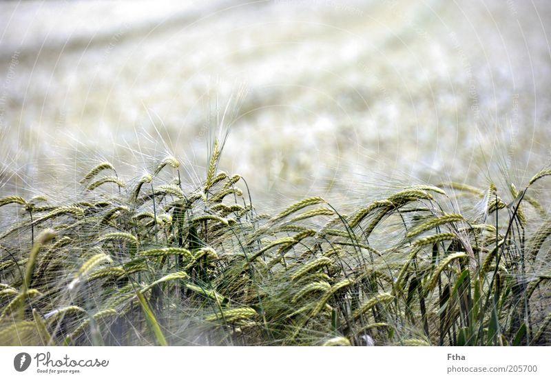 (Almost) Fields Of Gold Natur Landschaft Pflanze Sommer Gras Nutzpflanze Feld Menschenleer Stimmung Freiheit Ferne Weizen Weizenfeld Weizenähre Kornfeld
