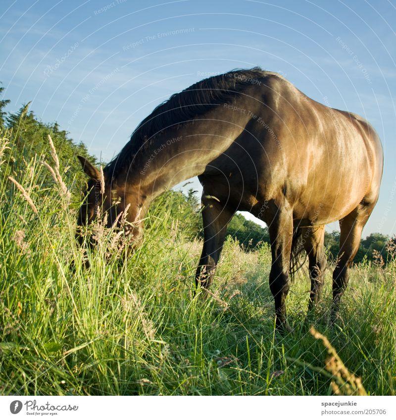 Das Gute liegt im Gras schön Himmel Sommer Wiese Landschaft glänzend elegant Pferd Fell Neugier Weide Geruch Fressen Tier Mähne