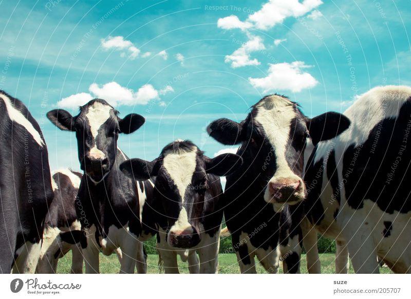 Tankstopp Umwelt Natur Tier Himmel Wolken Sommer Schönes Wetter Wiese Nutztier Kuh Tiergesicht Tiergruppe natürlich Tierliebe Landleben