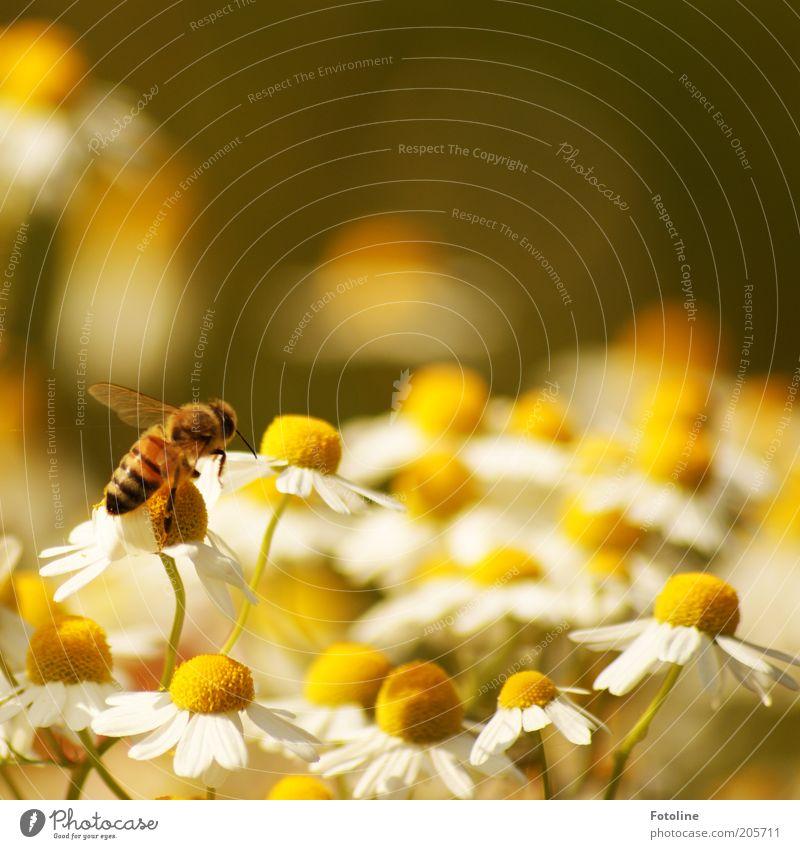 Kamille Umwelt Natur Pflanze Tier Sommer Wärme Blume Blüte Nutztier Biene Flügel hell fliegen Kamillenblüten Honigbiene Sammlung Farbfoto mehrfarbig