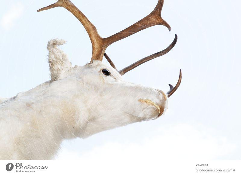 Weißer Hirsch Tier Wildtier Tiergesicht Fell Hirschkopf 1 hell schön nah weiß Stolz Kraft Außenaufnahme Hintergrund neutral Tag High Key Tierporträt Horn falsch