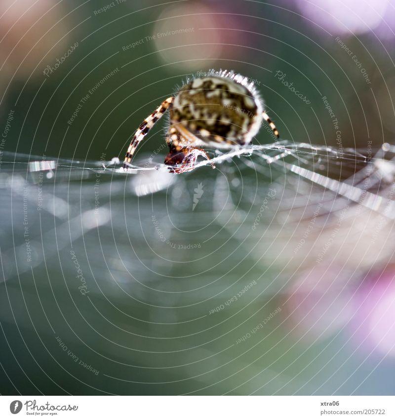 spinne grün Tier gruselig Spinne krabbeln Makroaufnahme Spinnennetz Sonnenstrahlen spinnen