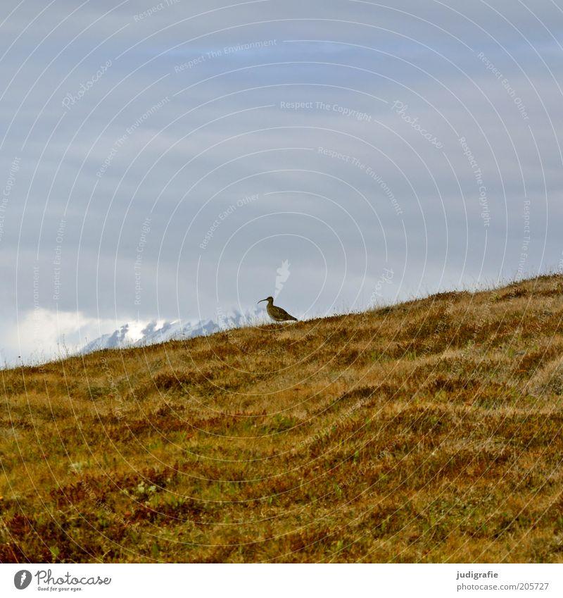 Island Natur Himmel blau Pflanze ruhig Wolken Einsamkeit Tier gelb Leben Schnee Wiese Gras Berge u. Gebirge Landschaft braun