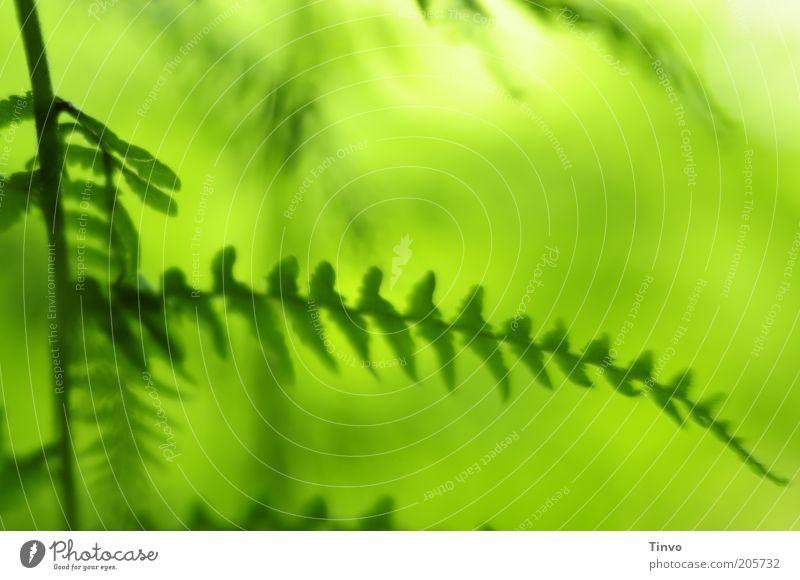 Ins Grüne Fa(h)rn Natur Pflanze Frühling Sommer Schönes Wetter Farn frisch grün Blatt Farbfoto Nahaufnahme Muster Menschenleer Textfreiraum oben Licht Kontrast