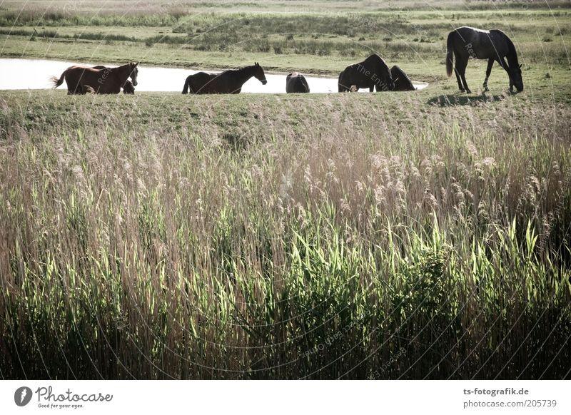 Nordlichter Natur Wasser grün Pflanze Ferien & Urlaub & Reisen Tier Wiese Gras Landschaft braun Umwelt Ausflug Pferd Tiergruppe natürlich Idylle
