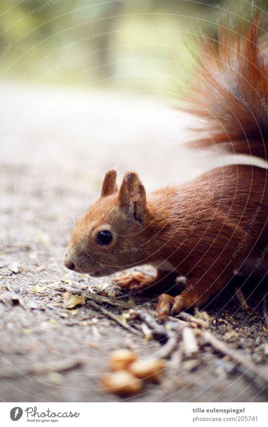 ein (eich)horn Natur Tier braun Suche wild natürlich Neugier Wildtier niedlich Sammlung Interesse Vorsicht Schrecken Eichhörnchen Nahrungssuche Ernährung