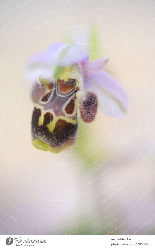 Zypern-Orchidee Umwelt Natur Pflanze Blume Blüte Wildpflanze exotisch Blütenblatt schön rosa selten endemisch Hummelragwurz Farbfoto Nahaufnahme Detailaufnahme