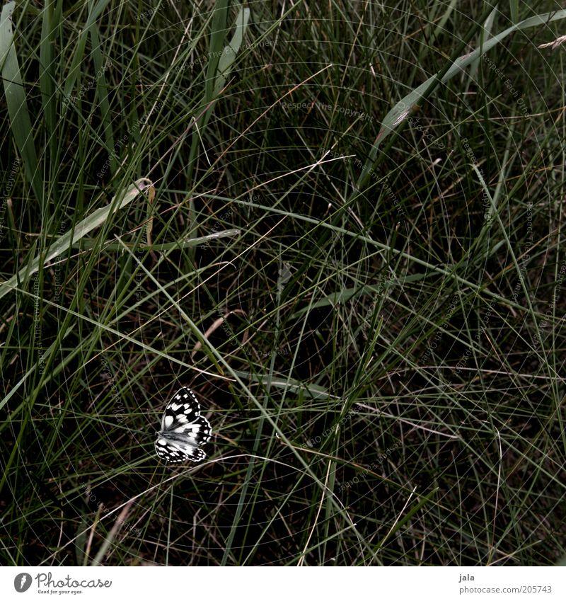 edelfalter Natur Gras Wiese Schmetterling Insekt 1 Tier ästhetisch schön grün schwarz weiß Menschenleer Tag