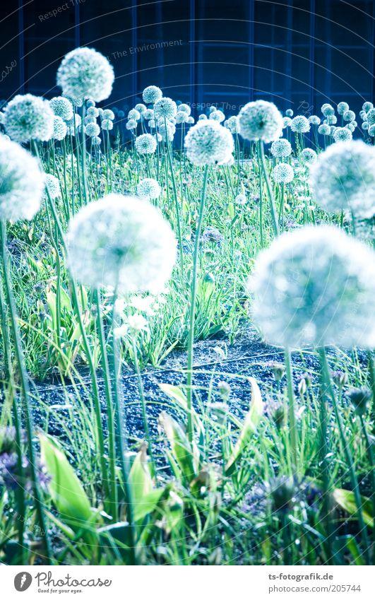 Pusteblumen-Mutanten? Natur weiß Blume grün blau Pflanze Farbe Blüte Garten Park ästhetisch Coolness Kugel Stengel Löwenzahn Urelemente