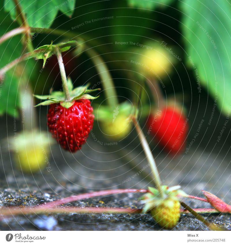 Berry Lebensmittel Frucht Ernährung Umwelt Natur Sommer Pflanze Sträucher Wildpflanze Wachstum Gesundheit klein lecker Erdbeeren Wald-Erdbeere reif Farbfoto