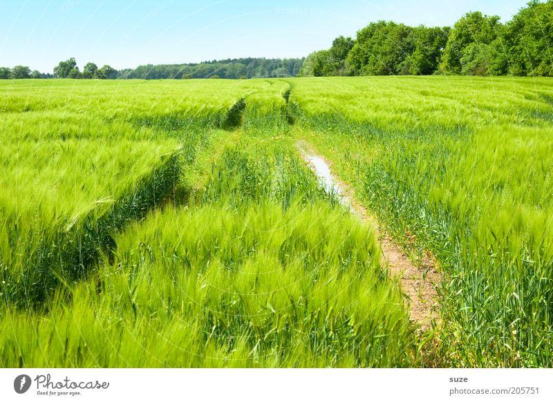 Im Grünen Getreide Bioprodukte Umwelt Natur Landschaft Pflanze Urelemente Erde Luft Himmel Wolkenloser Himmel Sommer Klima Schönes Wetter Sträucher Nutzpflanze