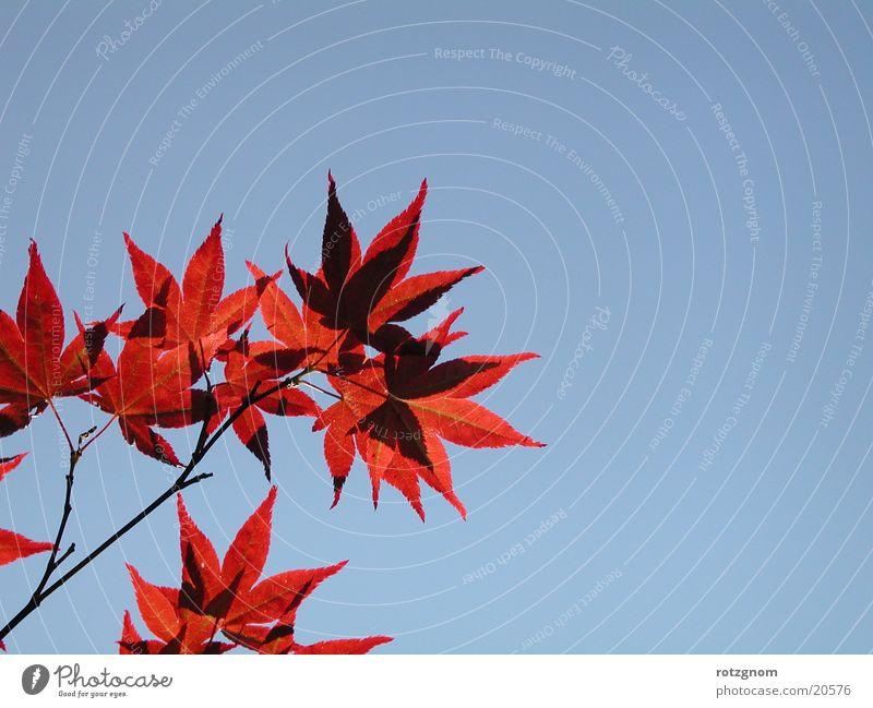 Ahornblätter/Himmel Natur Blatt