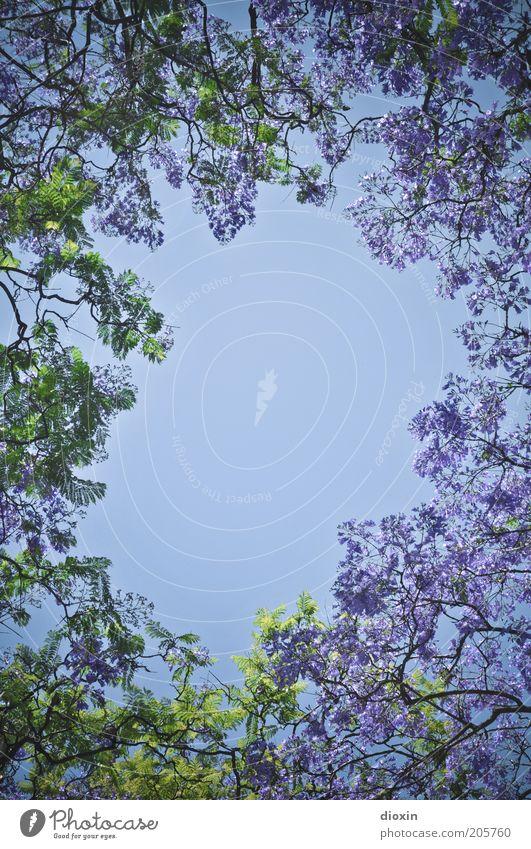 Sommerloch Umwelt Natur Pflanze Himmel Wolkenloser Himmel Frühling Klima Schönes Wetter Baum Blüte Ast Blühend Wachstum Duft natürlich schön blau grün violett