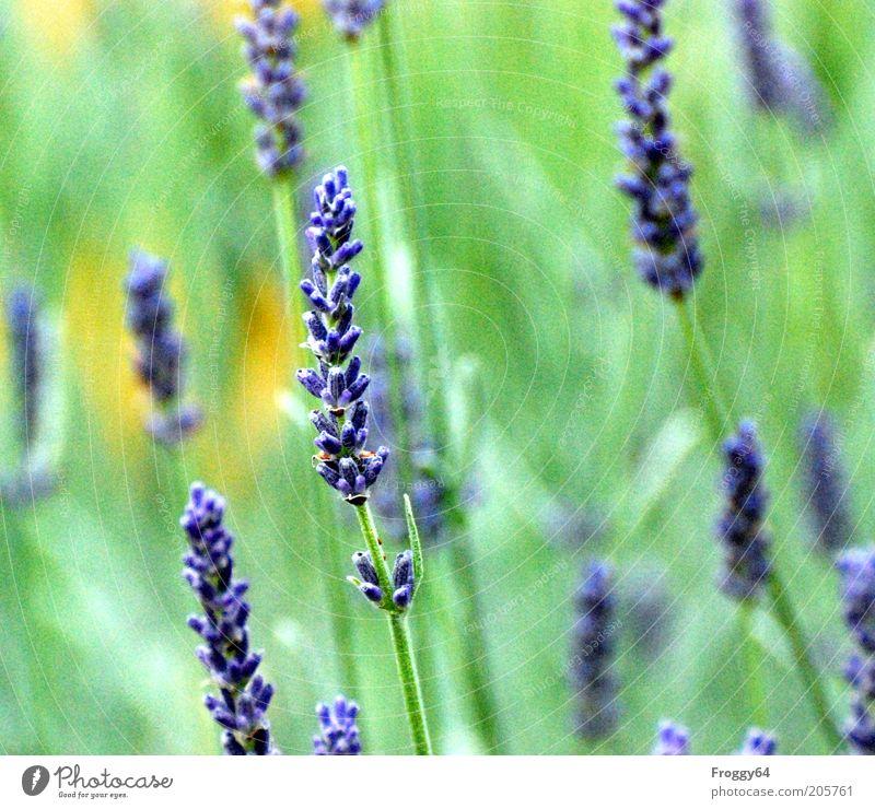 Der Sommer ist da! Umwelt Natur Pflanze Blume Blüte Nutzpflanze Blühend frisch blau gelb grün Farbfoto Außenaufnahme Tag Kontrast Unschärfe Blütenpflanze