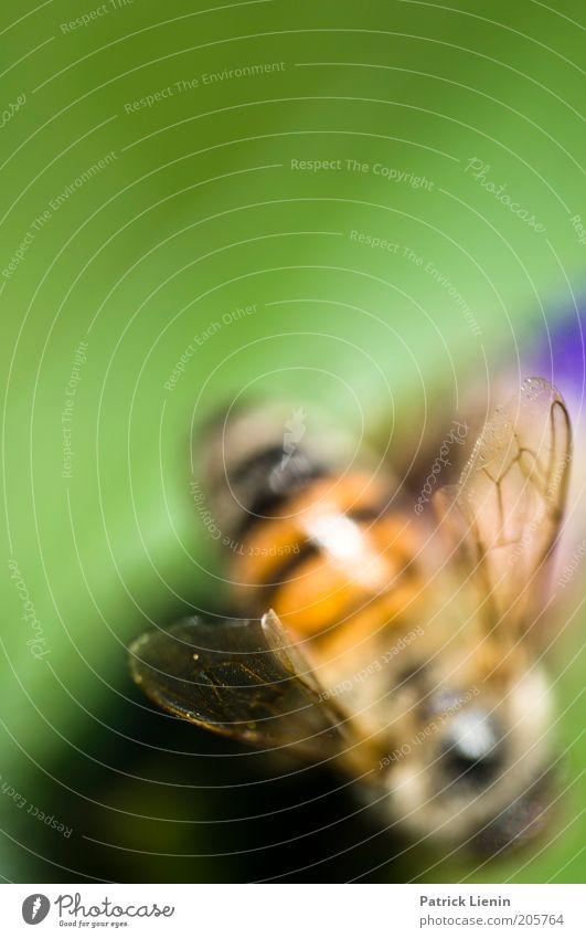 free as a bee Umwelt Natur Pflanze Tier Biene Flügel 1 Farbe grün Sommer Sammlung Nektar stechen Vorsicht zart Unschärfe Farbfoto Makroaufnahme Menschenleer