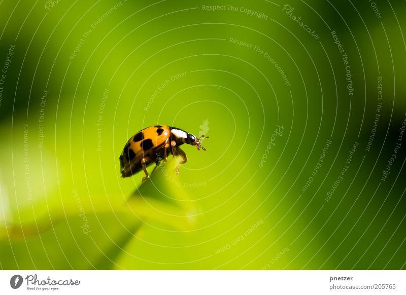 Ausblick Umwelt Natur Klima Schönes Wetter Pflanze Blatt Grünpflanze Tier Wildtier Käfer Tiergesicht Marienkäfer Duft hocken krabbeln frei Fröhlichkeit positiv