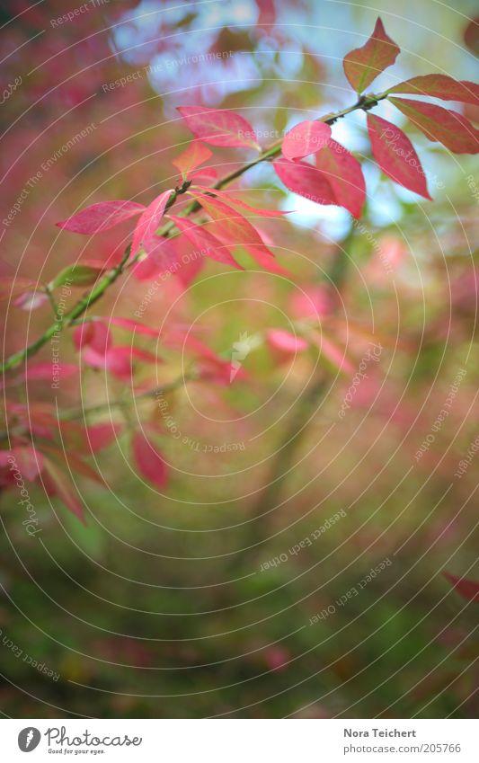 noch ein Weilchen hin. Herbst. Umwelt Natur Pflanze Himmel Sommer Sträucher Blatt Grünpflanze Wildpflanze Garten Park Wald verblüht ästhetisch schön grün rosa