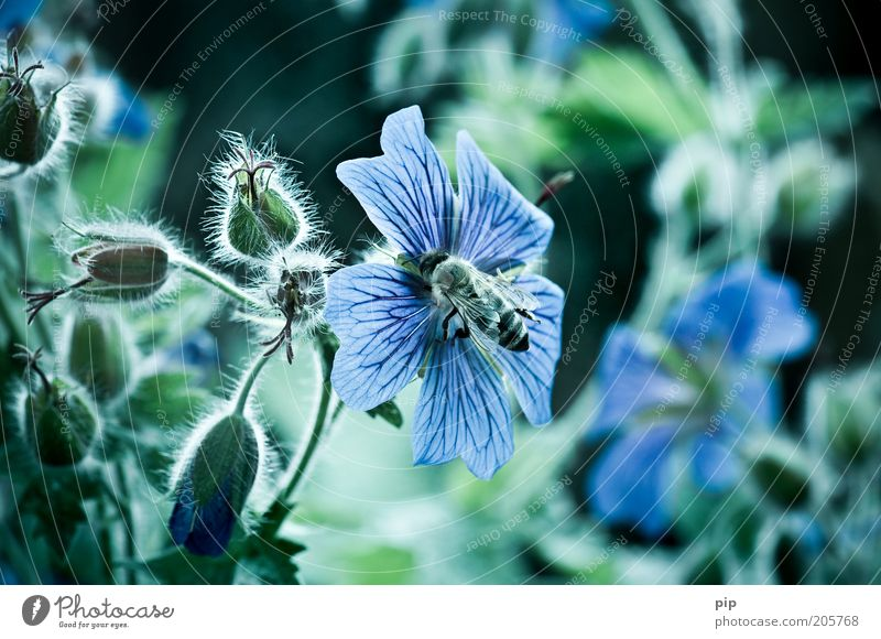 bee or not to be Umwelt Natur Pflanze Blume storchenschnabel Biene kalt blau grün Honigbiene Insekt Flügel emsig fleißig Blüte süß Nektar Farbfoto