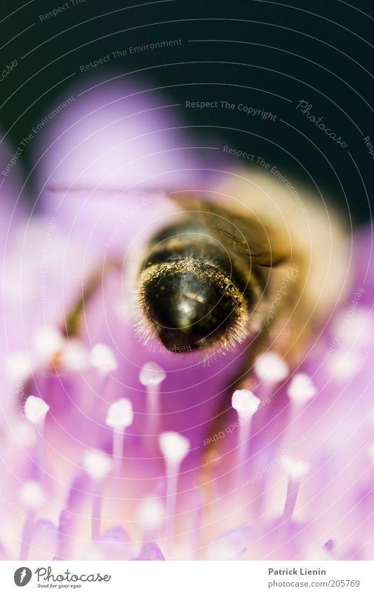 Just bee! Umwelt Natur Pflanze Tier Biene Flügel 1 Arbeit & Erwerbstätigkeit sitzen Blüte Gesäß schön Sommer Sammlung fleißig Arbeiter stechen Angst Farbfoto