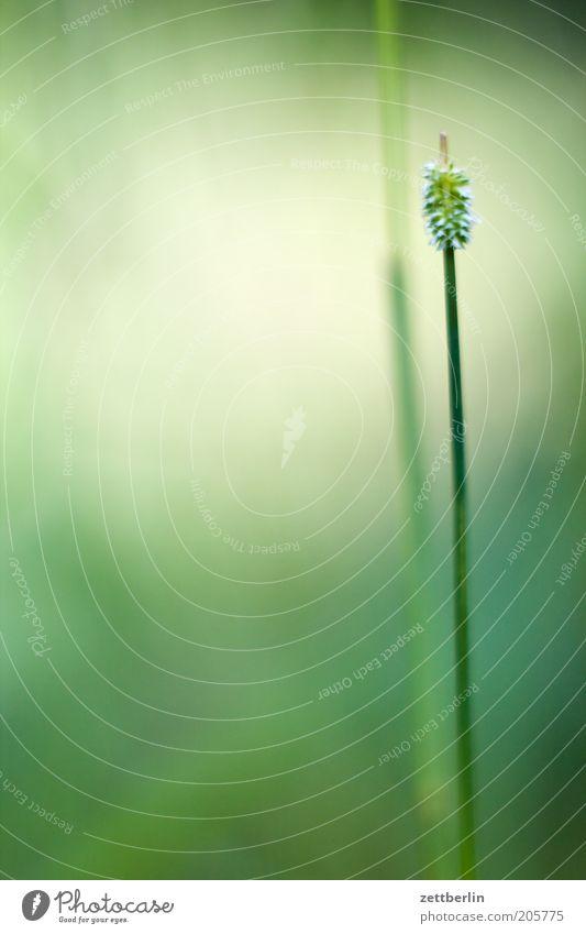 Gemeiner Schwingel Natur grün Pflanze ruhig Wiese Blüte Gras Rasen Kräuter & Gewürze Stengel Halm Grünpflanze Pflanzenteile Doldenblüte Unkraut