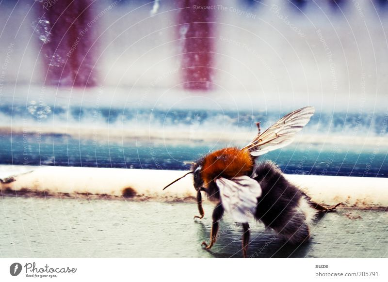 Hummel Tier Fenster Holz klein natürlich Wohnung Glas authentisch Häusliches Leben Flügel Insekt Biene Fensterscheibe Nutztier Hummel stechen