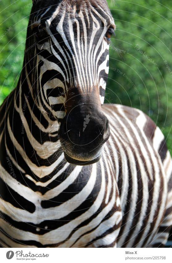 Wie macht das Zebra ? Ausflug Safari Tier Wildtier Zoo 1 schwarz weiß sanft wild gestreift Streifen Paarhufer Nüstern Afrikanisch Farbfoto Außenaufnahme