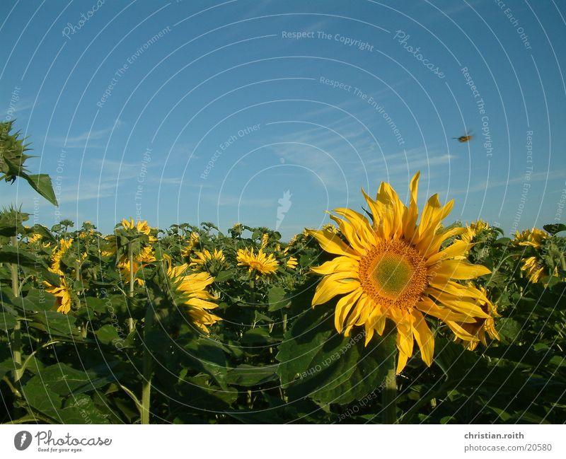 Mond, Sonnenblume, Biene Natur