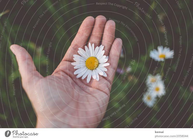 Die Blume liegt auf der Hand Mensch Natur Pflanze Sommer schön grün weiß Erholung ruhig Leben Umwelt Blüte Wiese Glück
