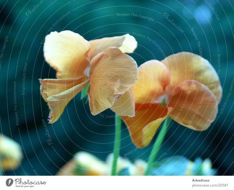 Balkonblume Blume gelb